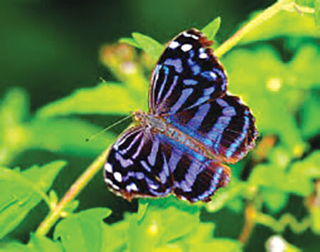 F Mexican Bluewing Credit Wikimedia
