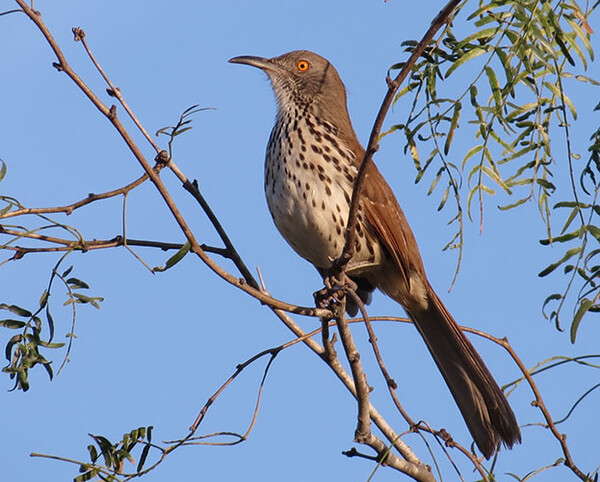 20200714 Long billed Thrasher