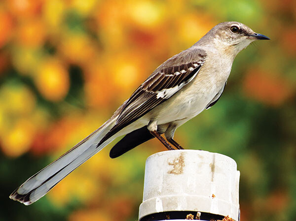 cb Northern Mockingbird