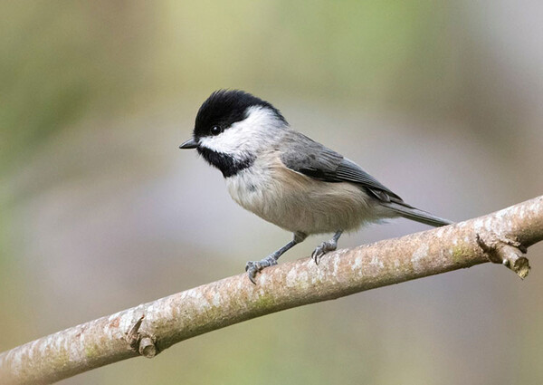 good chickadee e1598912445738