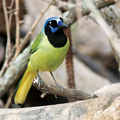 Bird Log Green Jay IMAS