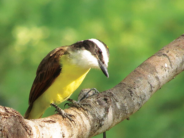 h Great Kiskadee mesquite John Brush 600x600