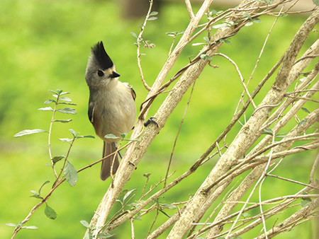 20200101 Black crested Titmouse