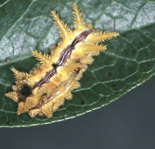 spiny oak slug