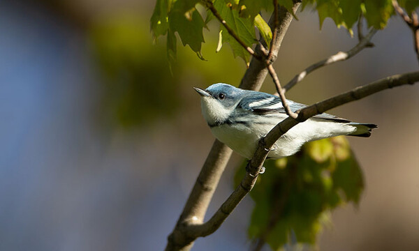 Cerulean Warbler Christopher L Wood ML237048821 MacaulayLibrary CornellLab