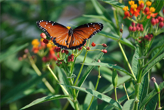 20171019 RGVVG Butterflies Queen on Scarlet Milkweed